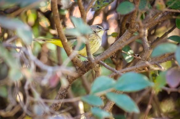 Little Yellow Bird ~ Copyright 2012 Ziello Photography